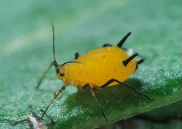 Pulgón amarillo (Bichos amarillos dañinos)