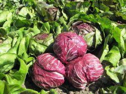 Cultivar Achicoria Roja o Radicchio en el Huerto: Guía Completa