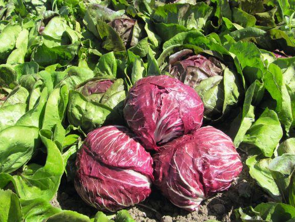 Cultivar achicoria roja o radicchio en el huerto