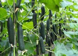 Tipos de Pepinos: ¿Cuáles son las variedades más cultivadas?