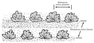 Distancias de siembra. Qué distancia dejar entre las plantas del huerto