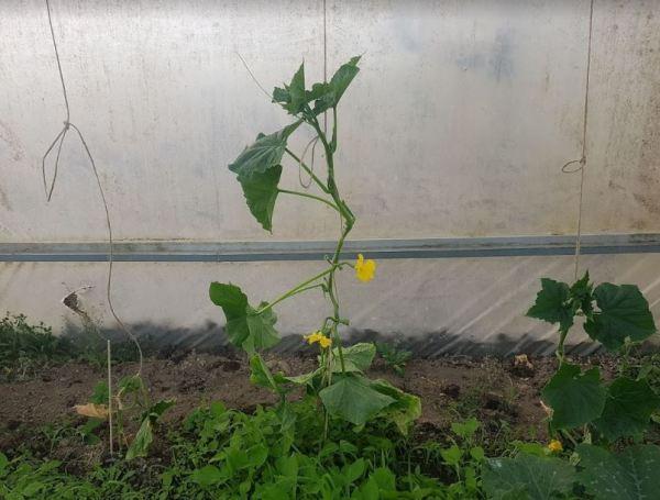 Entutoradado planta de pepino en invernadero