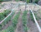 ¿Cómo Entutorar plantas del huerto? | Tipos de tutores para tomates