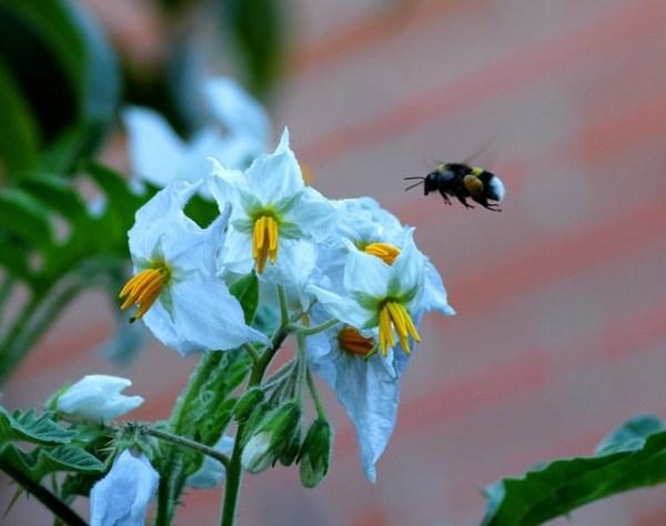 Problemas en la polinización de flores del tomate