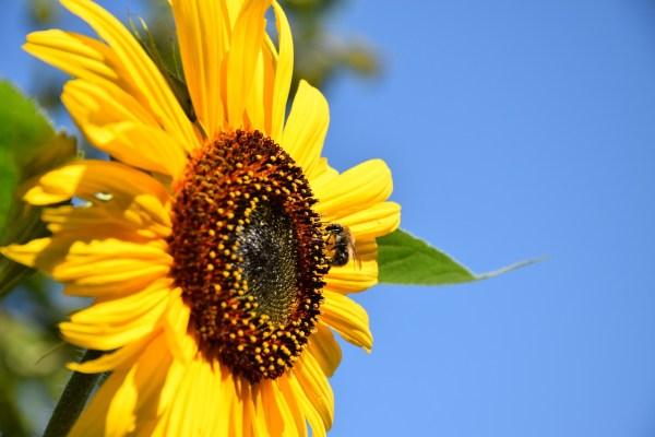 girasol para atraer a las abejas