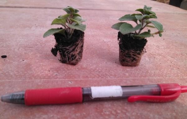 plantar orégano en macetas