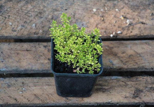 Una de las ventajas es que puedes cultivar tomillo en el suelo o en macetas.