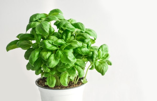 planta de albahaca en maceta