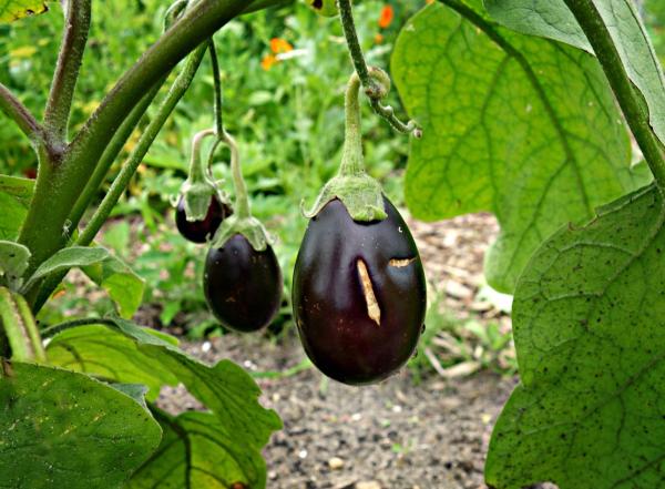 Cultivo de berenjenas: Tipos de berenjenas