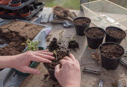 【 Cultivar Albahaca 】Cómo Sembrar Albahaca en macetas #Quedateencasa