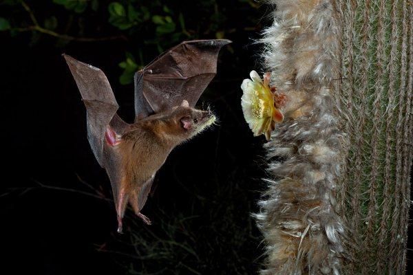 murciélagos y otros animales polinizadores