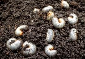 Bichos blancos en la tierra: ¿Hay que eliminarlos?