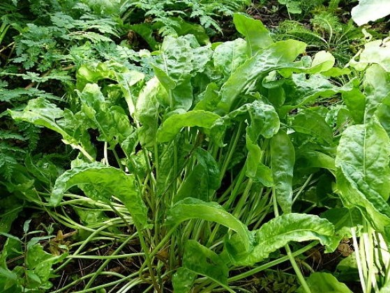 Planta silvestre con hojas comestibles