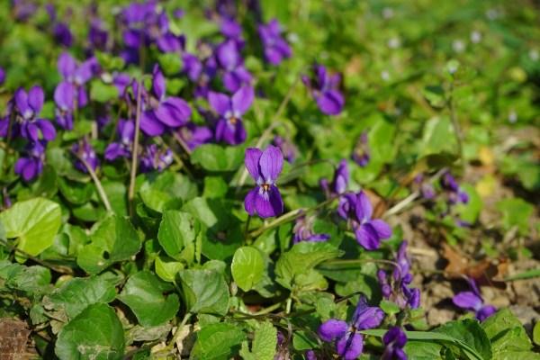 Flores de violeta comestibles