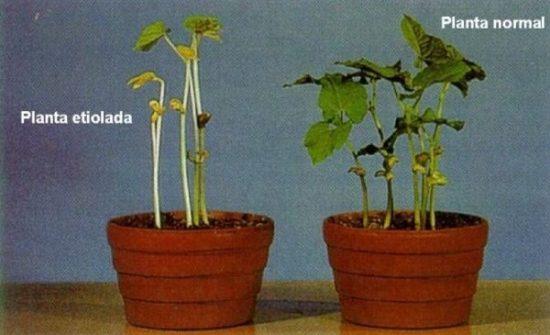 Plantas etiolada por falta de luz