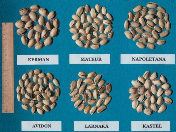 Frutos de distintas variedades femeninas de pistachero