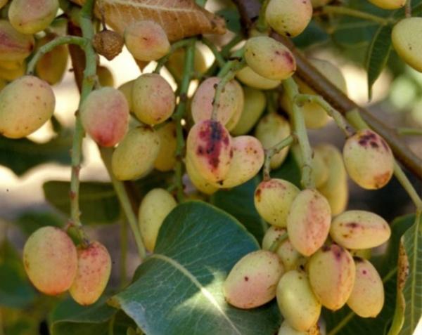Manchas negras en los frutos de pistacho de color negro con bordes en granate, causados por Alternaria.
