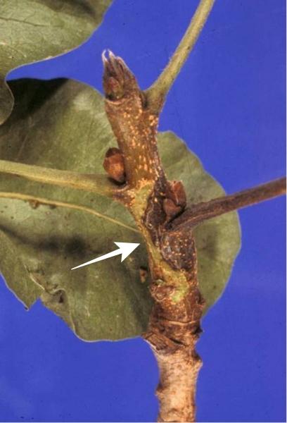 Daños en las yemas de pistachero debido a Botriosfera.
