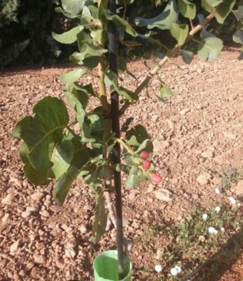 Plantón de pistachero entutorado.