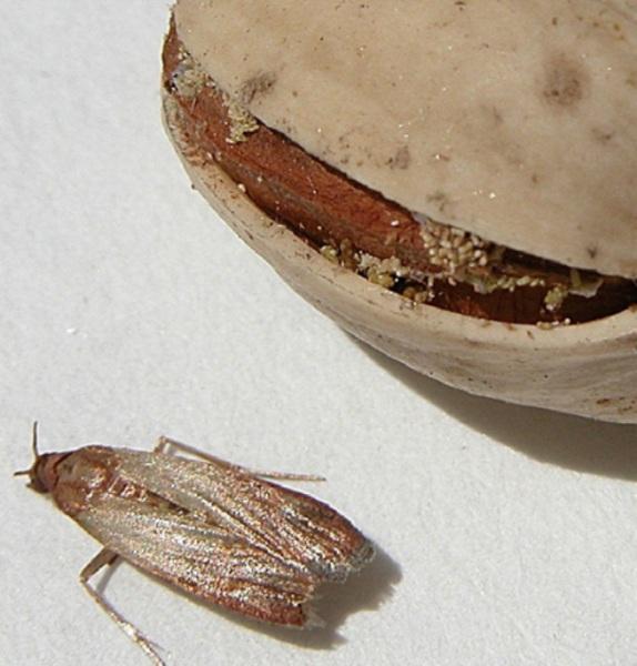 A la izquierda, adulto de Plodia y, a la derecha, pistacho con huevos y restos sedosos de la larvas.