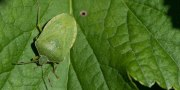 Plagas y Enfermedades del Pistachero: Control y prevención