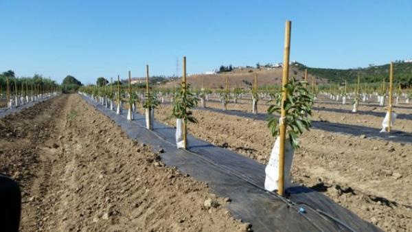 Plantación de aguacates entutorados y con protectores.