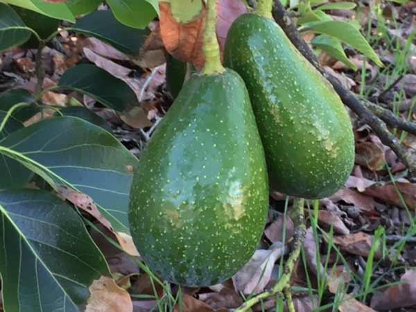 Aguacate variedad Zutano