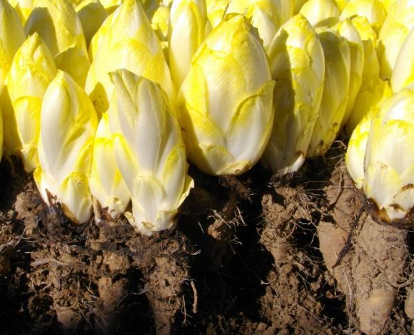 Cogollos de endivias después de la segunda fase del cultivo en oscuridad
