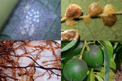 Plagas y Enfermedades del Aguacate: Síntomas, Control y Prevención