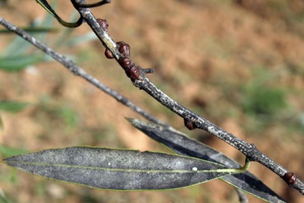 Adultos de cochinillas y presencia de negrilla en ramas y hojas de olivo