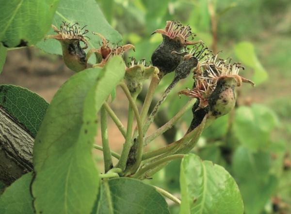 Manchas negras producidas por Pseudomonas syringae