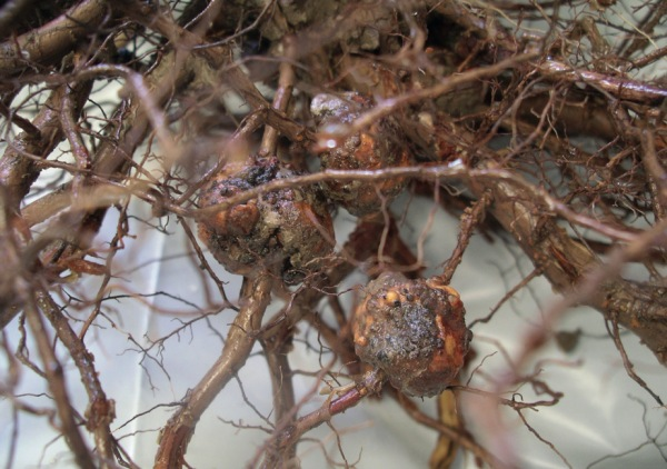 Tumores en raíces causados por Agrobacterium tumefaciens