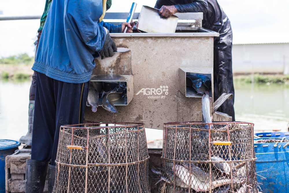 mesin pemilah ukuran ikan lele otomatis agroindustri