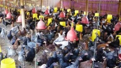 Photo of Berikut Cara Beri Pakan Ayam Kampung dengan Benar dan Optimal