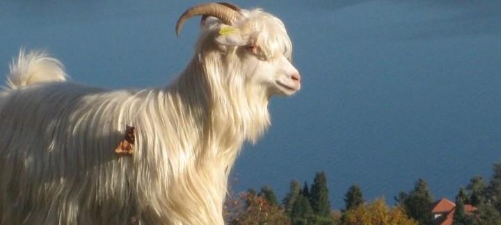 Risultati immagini per capre cashmere