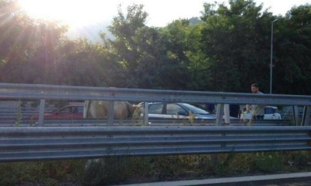 mucche autostrada
