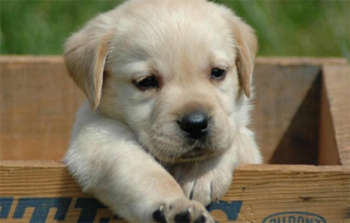 cane-cagnolino
