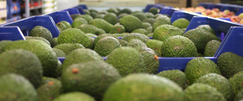 aguacate agropons