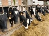 Genes de resistencia a antibióticos en el estiércol de las vacas lecheras