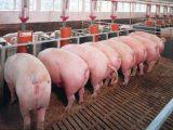 cerdos malos olores