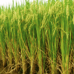 COMMERCIAL RICE PRODUCTION: A BOOSTER FOR ECONOMY PROSPERITY