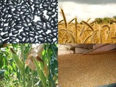 Manuales de maiz, frijol y trigo