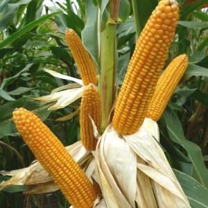 agroshop cereais milho hibrido rubisco