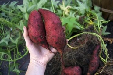 sweet-potatoes-600x398