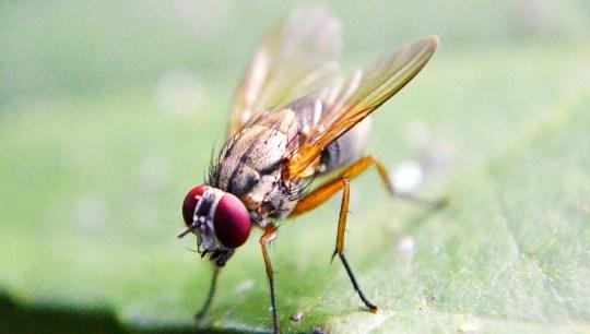 Cara memberantas lalat buah menggunakan Atraktan