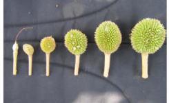 Gambar 4 Perkembangan buah