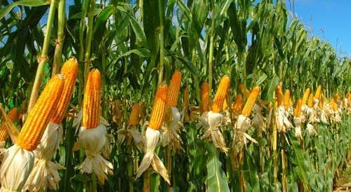 Brazil boosts corn production and export estimates for current season: crop agency