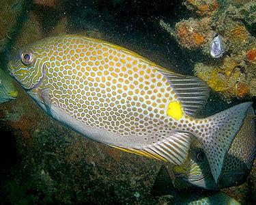 Ikan Baronang (Siganus sp)