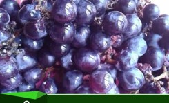 Anggur 1