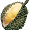Bibit varietas durian unggul Sunan